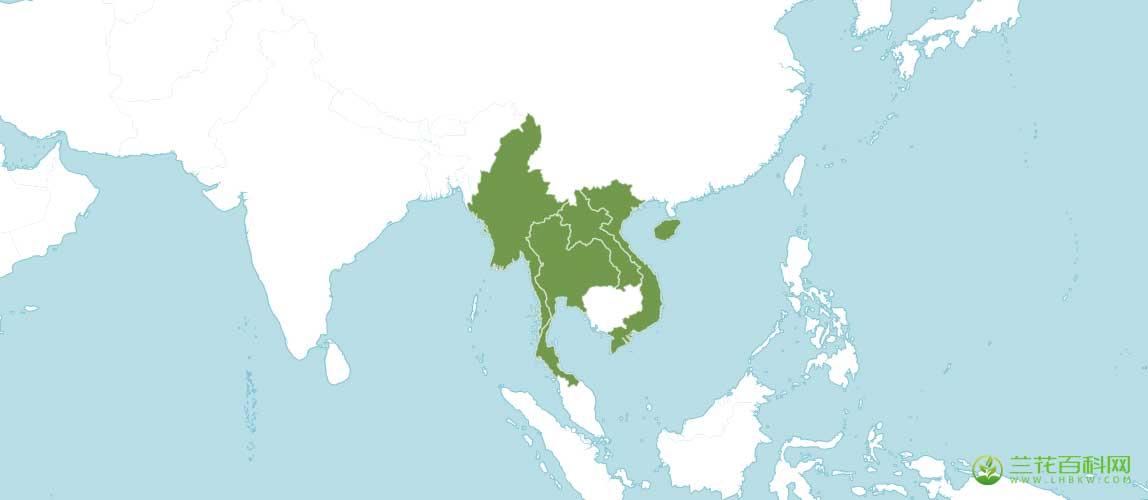 美花隔距兰Cleisostoma birmanicum (Schltr.) Garay