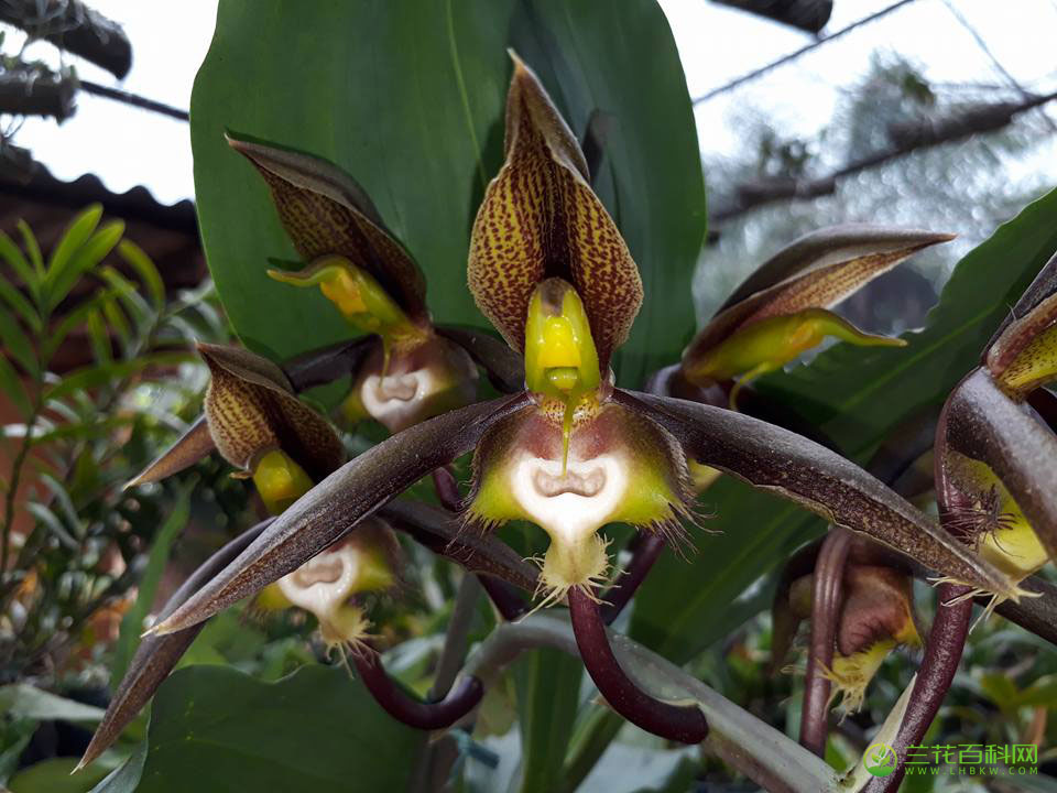 囊唇龙须兰Catasetum saccatum