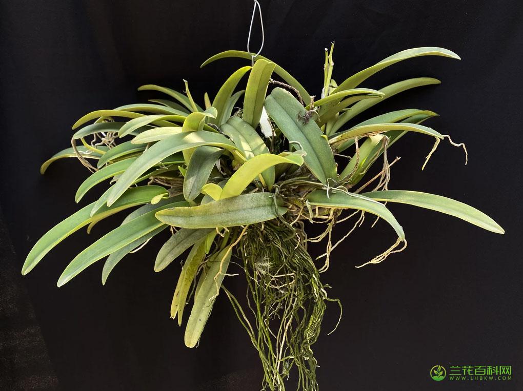 马克西马卡特兰Cattleya maxima Lindl.