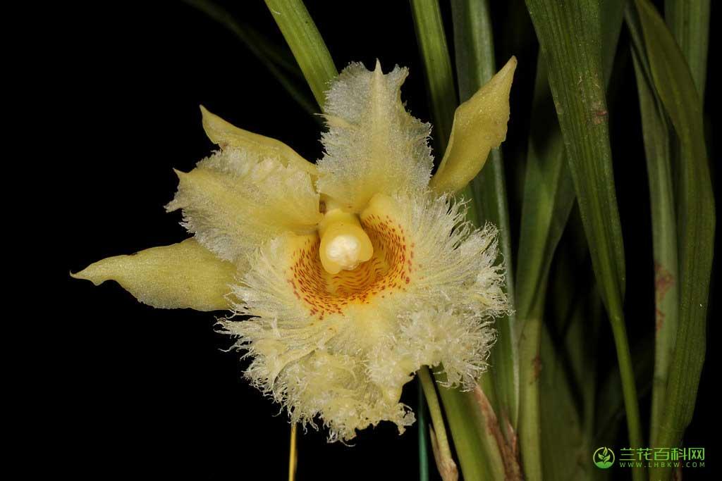 拟鸟喙兰Chondroscaphe chestertonii (Rchb.f.)