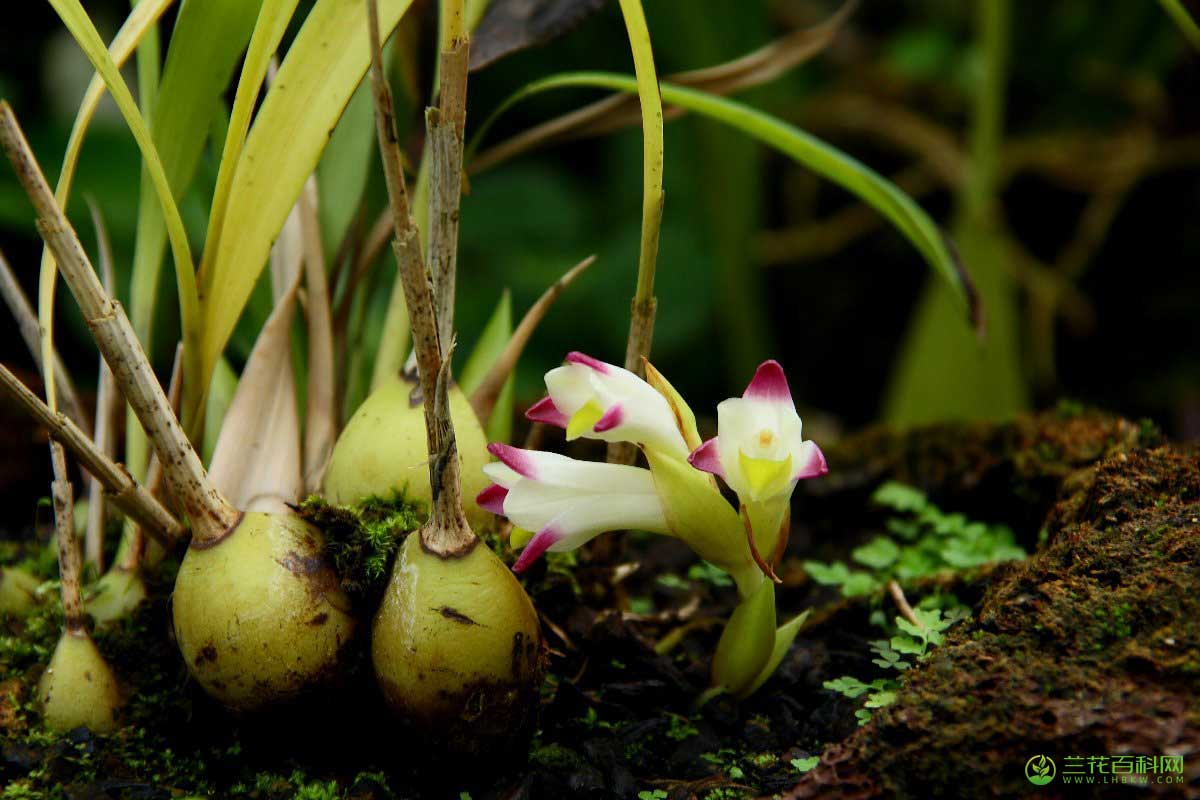 粉兰Coelia bella (Lem.)Rchb.f.