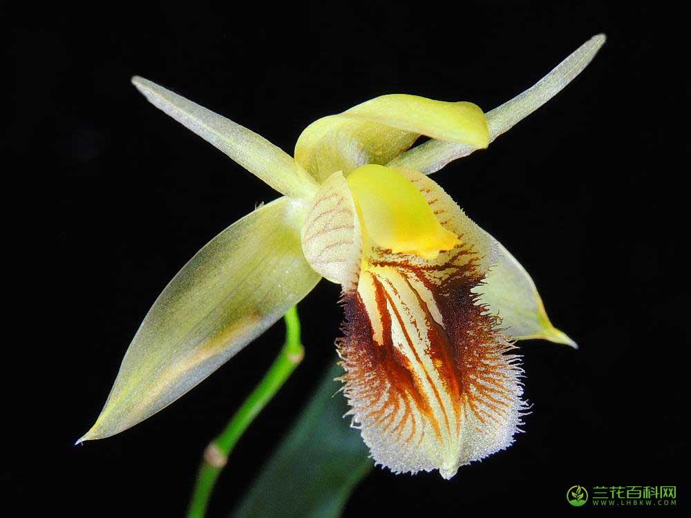流苏贝母兰Coelogyne fimbriata Lindl.