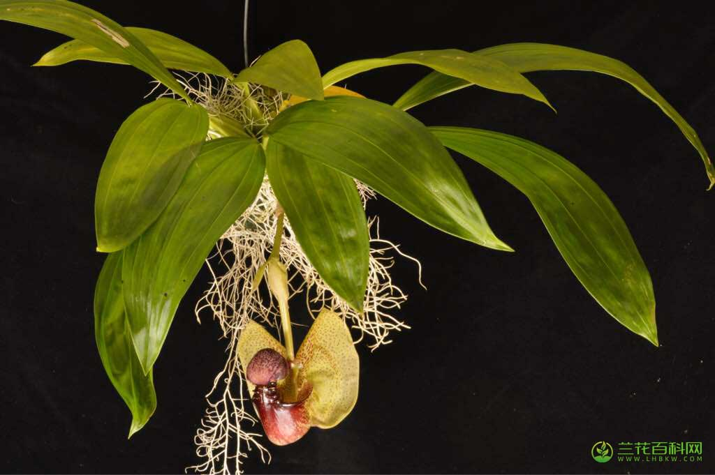 盔花兰属Coryanthes Hook.