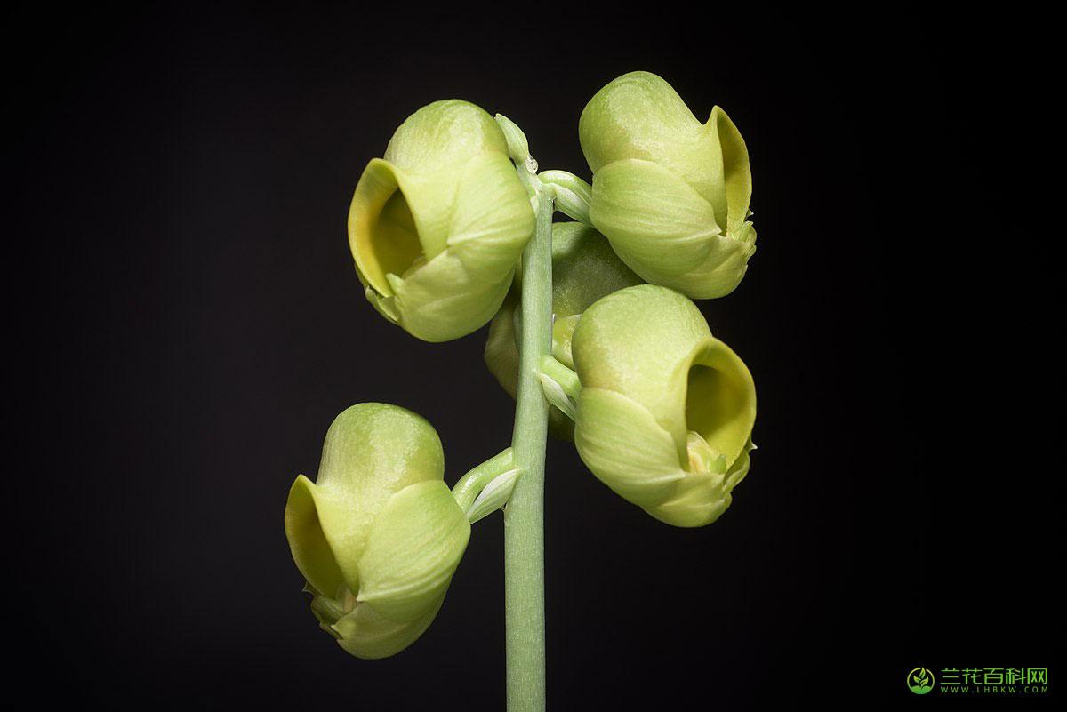 扁头龙须兰Catasetum planiceps
