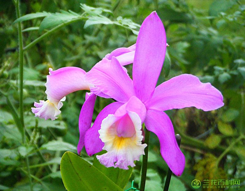 哈利桑卡特兰Cattleya harrisoniana Bateman ex Lindl.