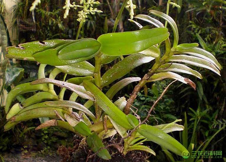 绿花隔距兰Cleisostoma uraiense(Hayata)Garay & H.R.Sweet
