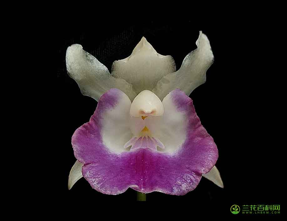 壳花兰属Cochleanthes Raf.