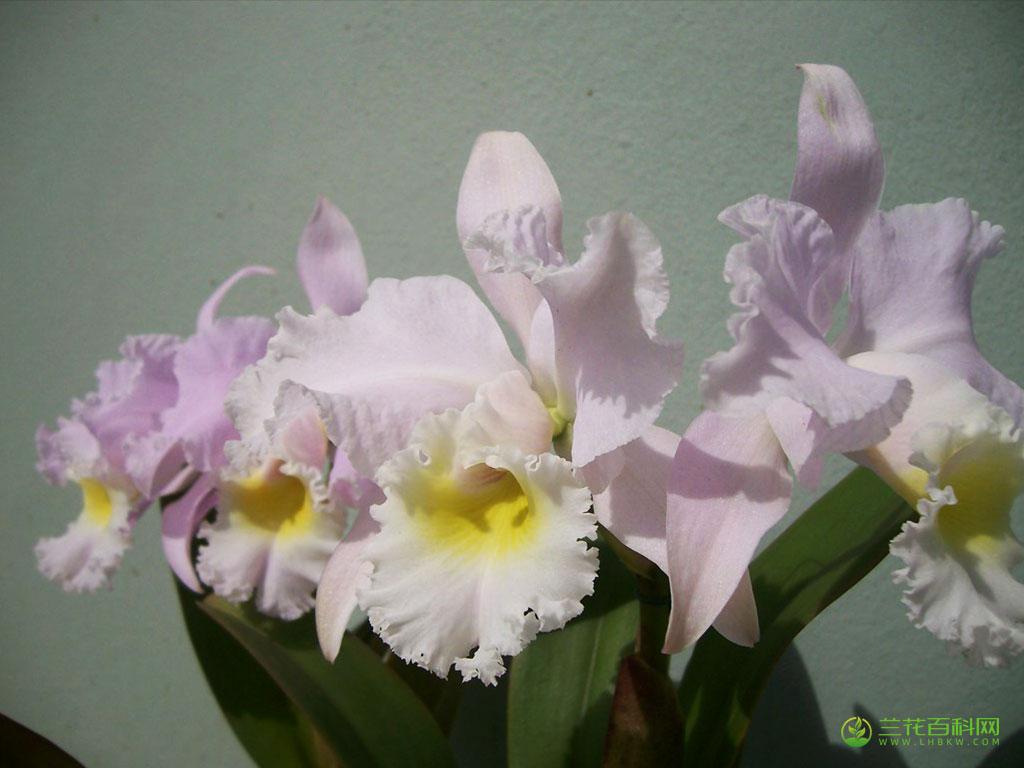 特利氏卡特兰Cattleya trianaei