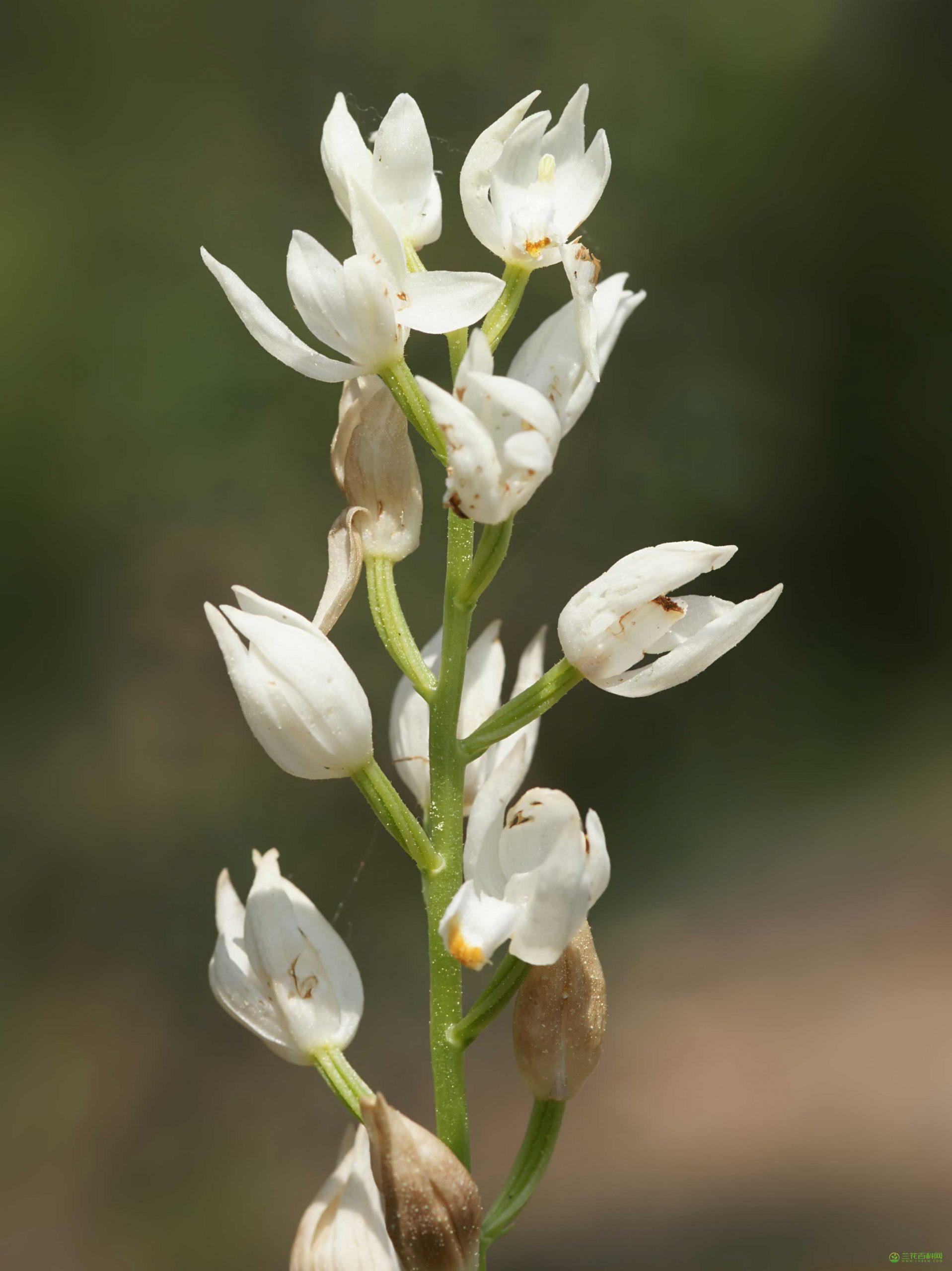 头蕊兰Cephalanthera longifolia图片及特征