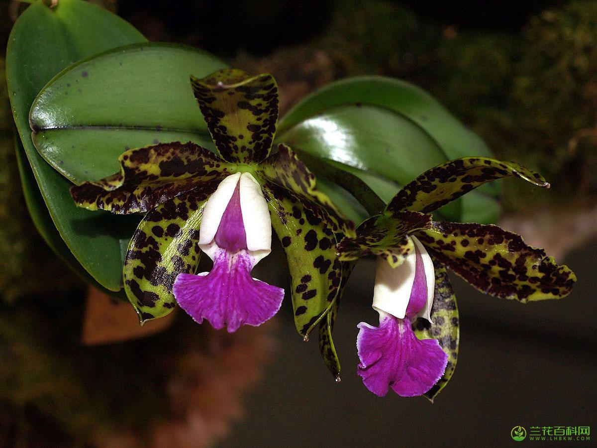 阿克卡特兰Cattleya aclandiae Lindl.