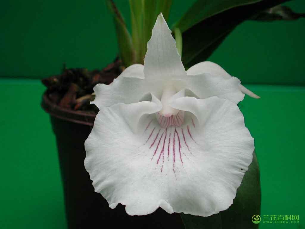 亚马逊壳花兰Cochleanthes amazonica