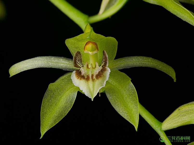 贝母兰属Coelogyne Lindl.
