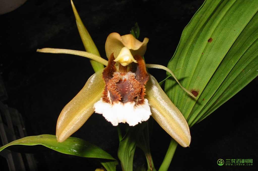 美丽贝母兰Coelogyne speciosa(Blume)Lindl.