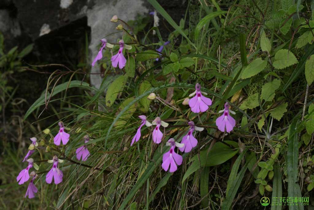 狗兰Cynorkis lowiana Rchb.f.