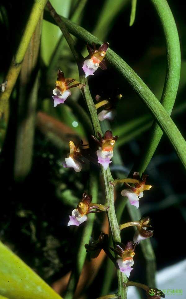 金塔隔距兰Cleisostoma filiforme(Lindl.)Garay