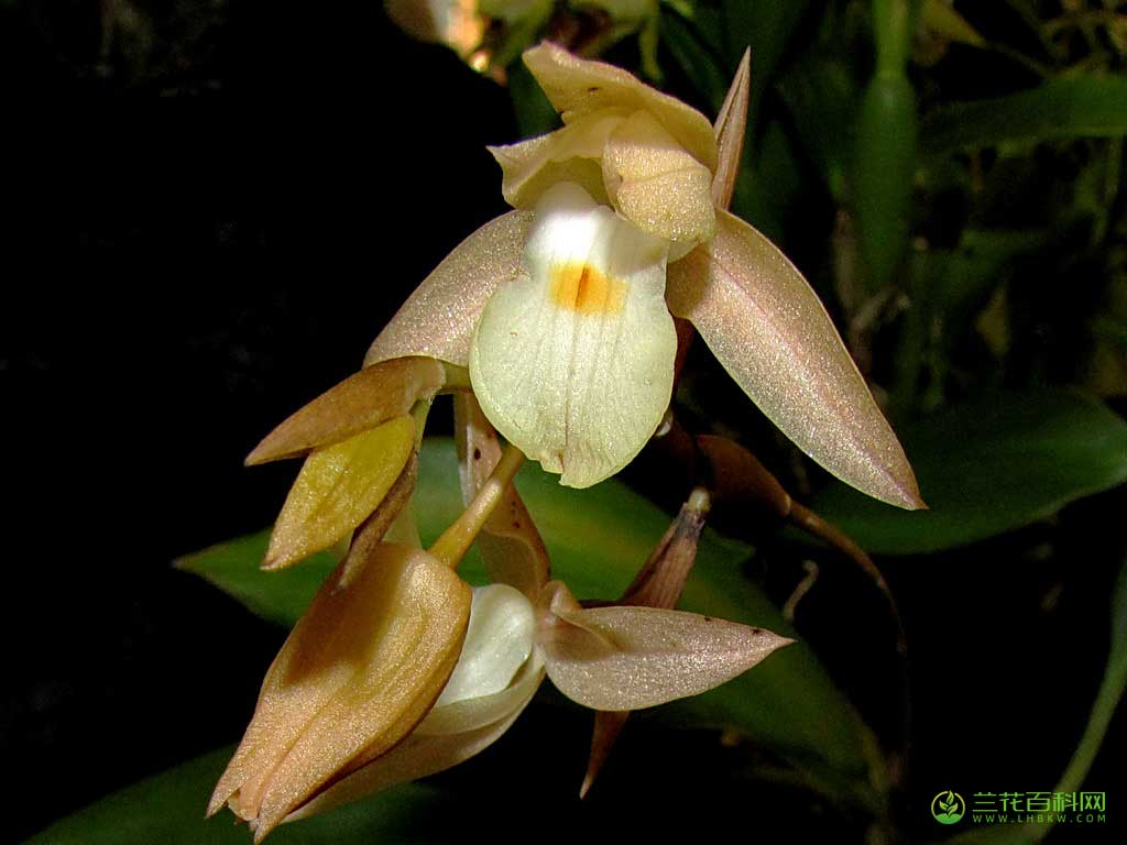 麻栗坡贝母兰Coelogyne malipoensis Z. H. Tsi