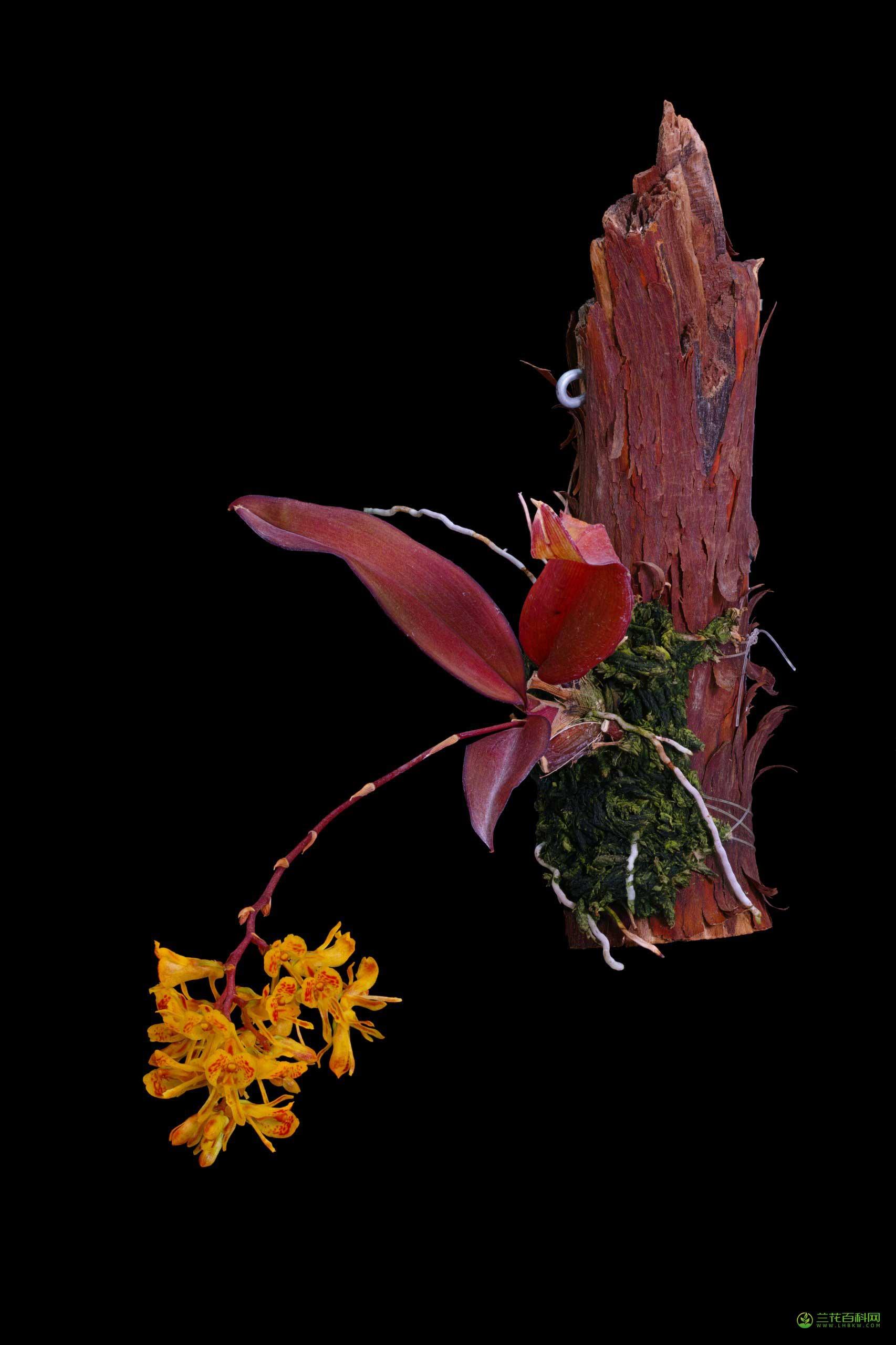 凹唇兰属Comparettia