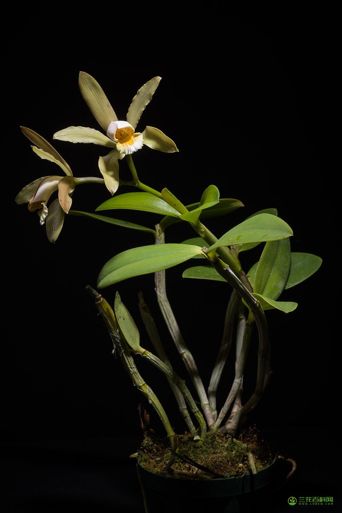 佛氏卡特兰Cattleya forbesii Lindl.