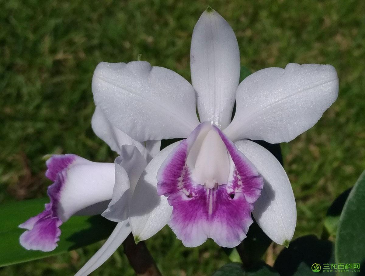英特卡特兰Cattleya intermedia Graham ex Hook.