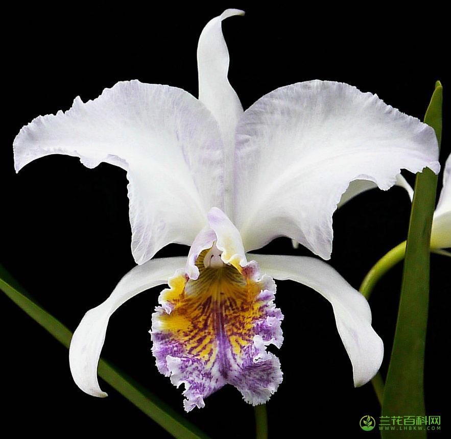 莫西卡特兰Cattleya mossiae