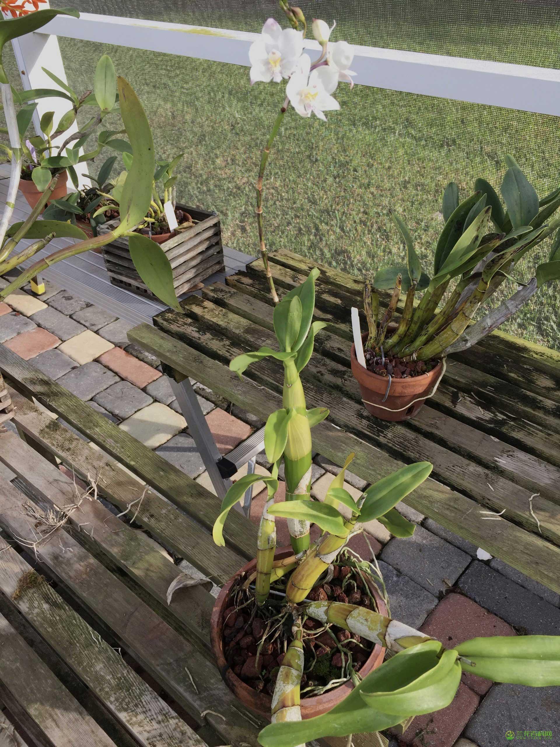 双角兰Caularthron bicornutum图片及特征