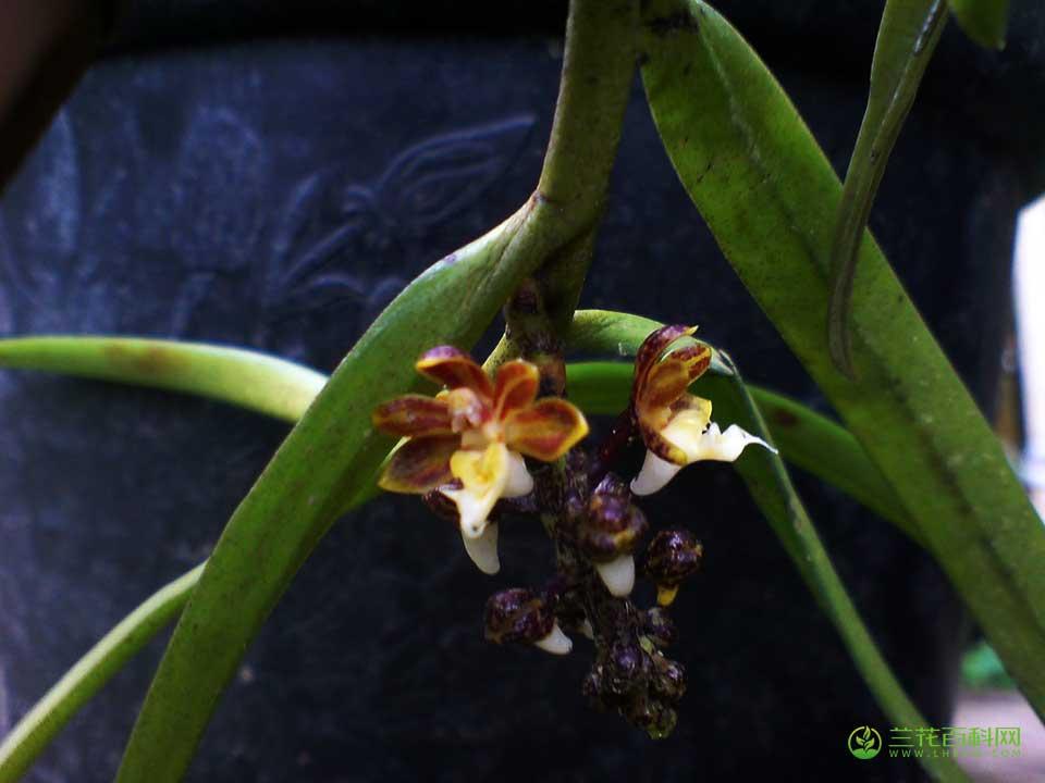 短序隔距兰Cleisostoma striatum (Rchb. f. ) Garay