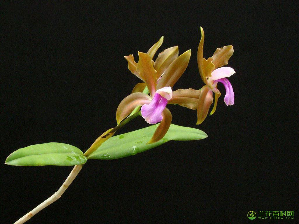 二色卡特兰Cattleya bicolor Lindl.