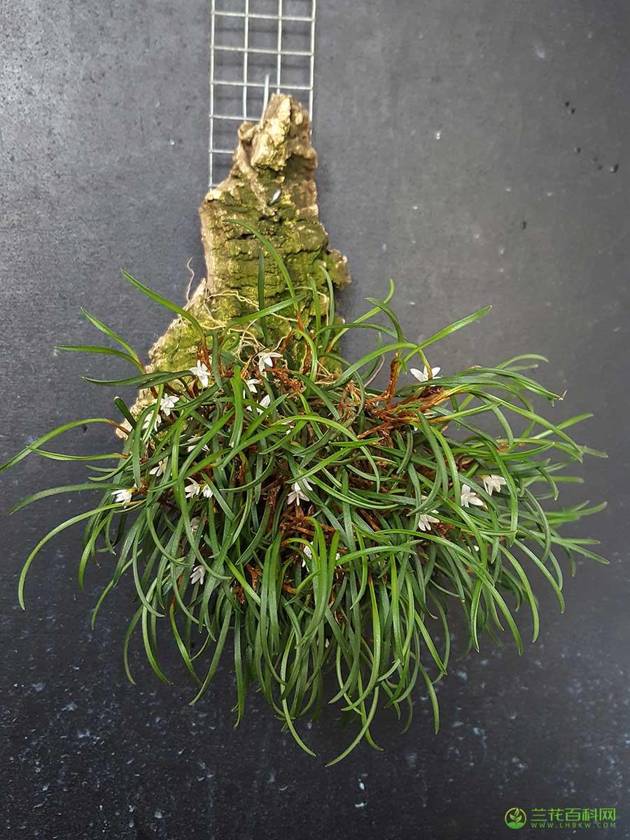 牛角兰属Ceratostylis