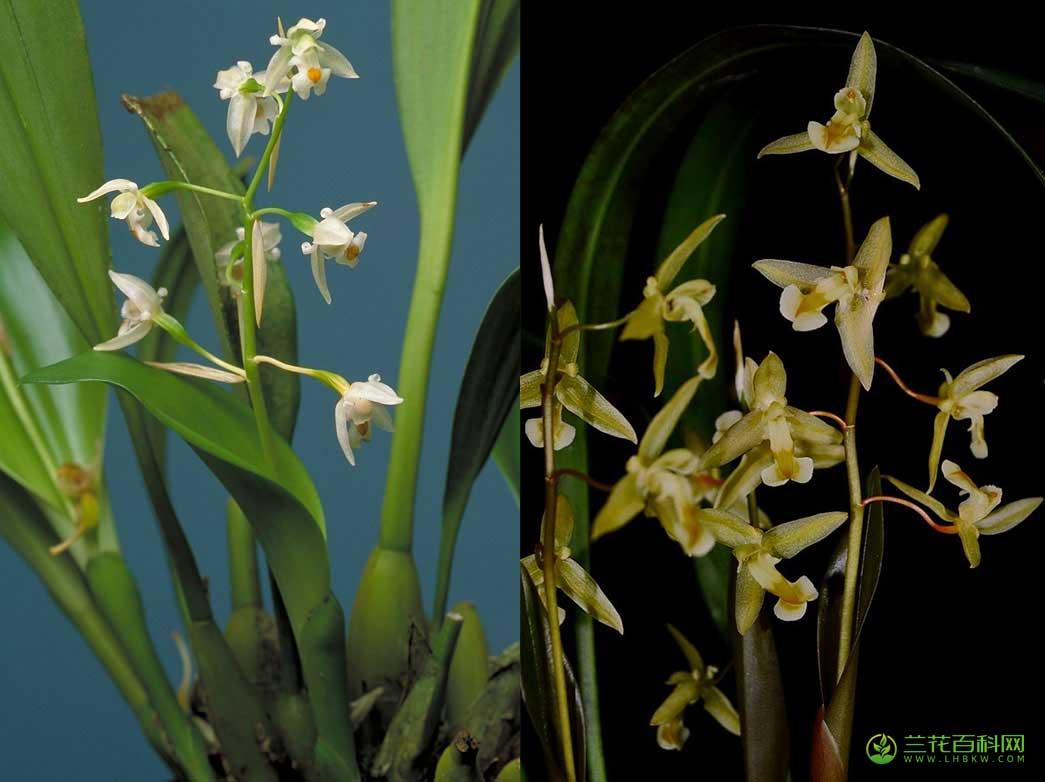 角柱兰Chelonistele sulphurea (Blume) Pfitzer
