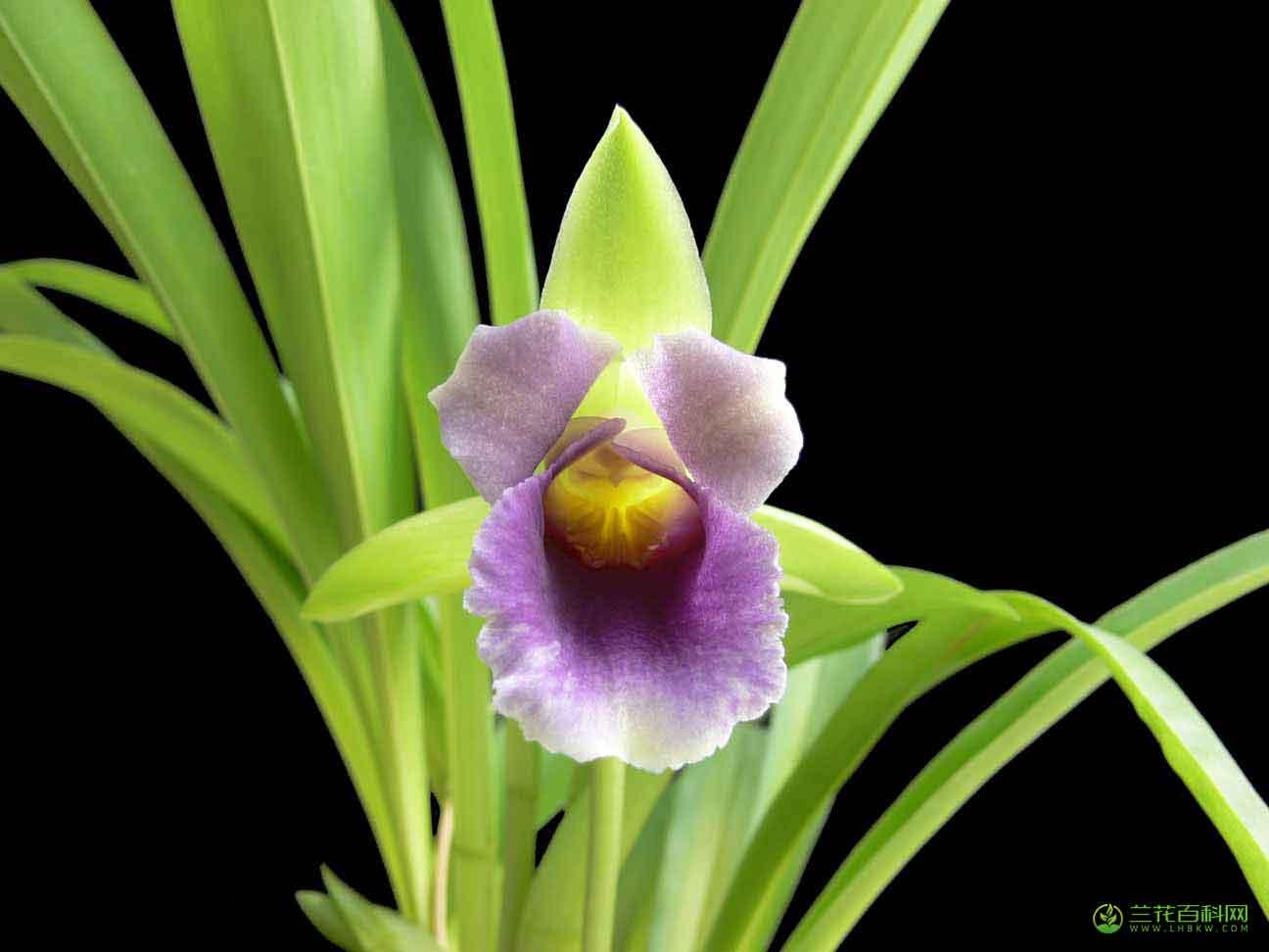 两色壳花兰Cochleanthes discolor (Lindl.) Rchb.f.