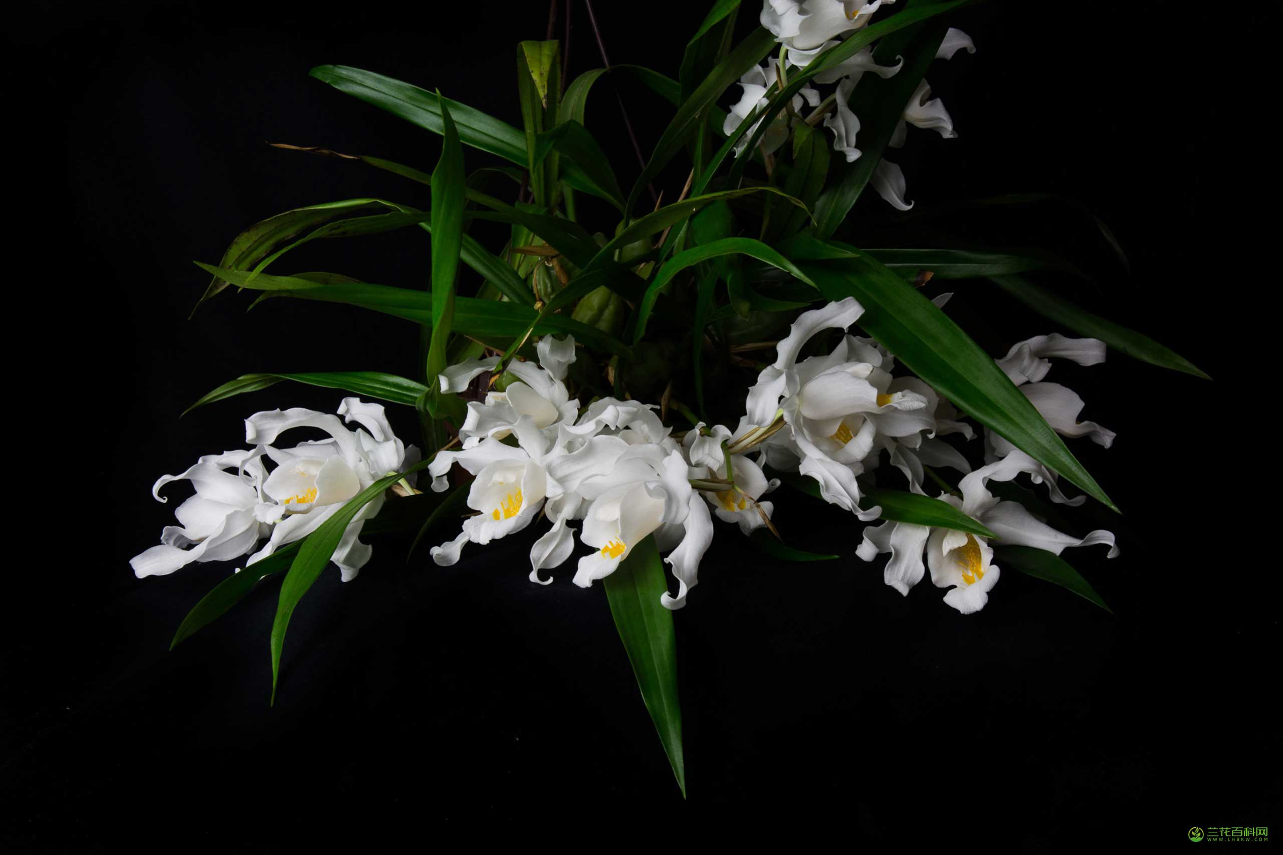 贝母兰Coelogyne cristata Lindl.