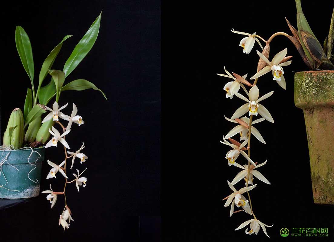 栗鳞贝母兰Coelogyne flaccida Lindl.