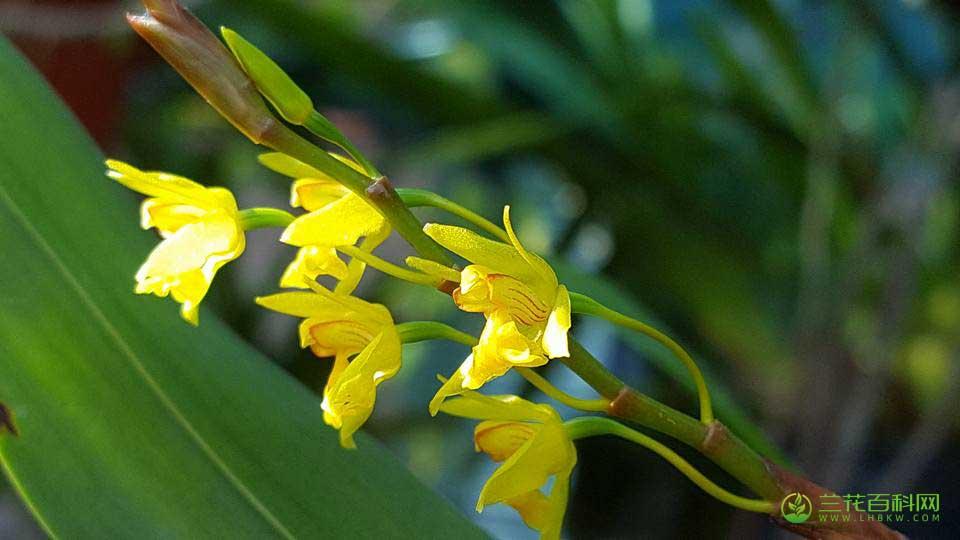 黄绿贝母兰Coelogyne prolifera Lindl.