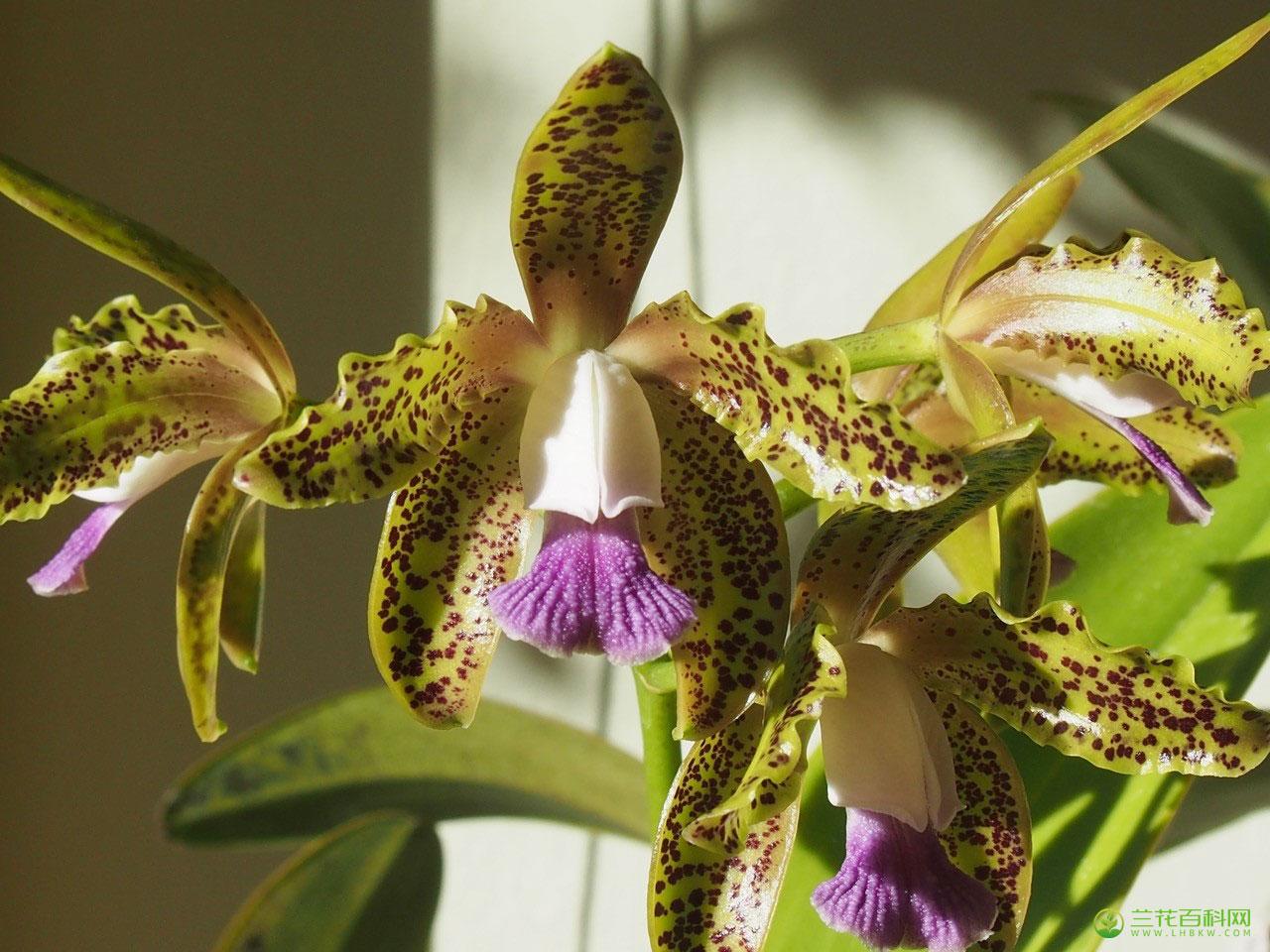 细斑卡特兰Cattleya guttata Lindl.