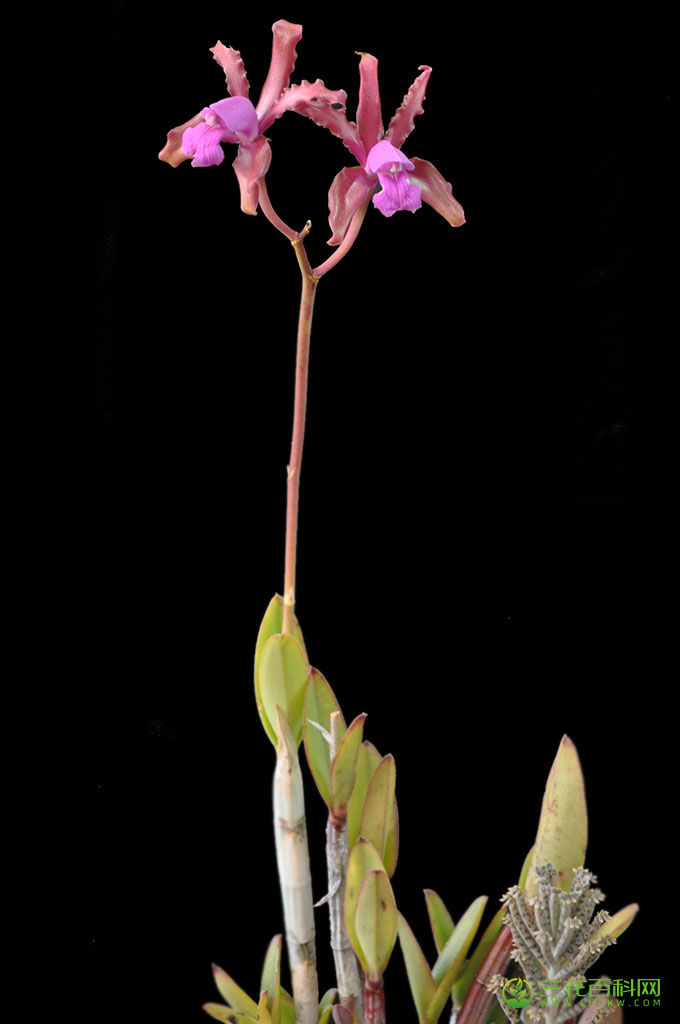 长茎卡特兰Cattleya elongata Barb.Rodr.