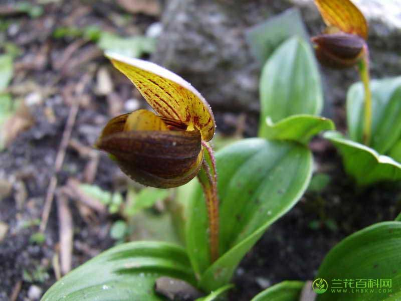 无苞杓兰Cypripedium bardolphianum W.W.Sm. & Farrer