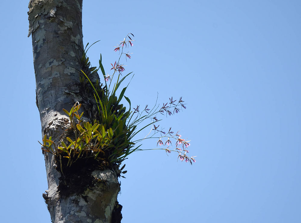 Encyclia bractescens (Lindl.) Hoehne