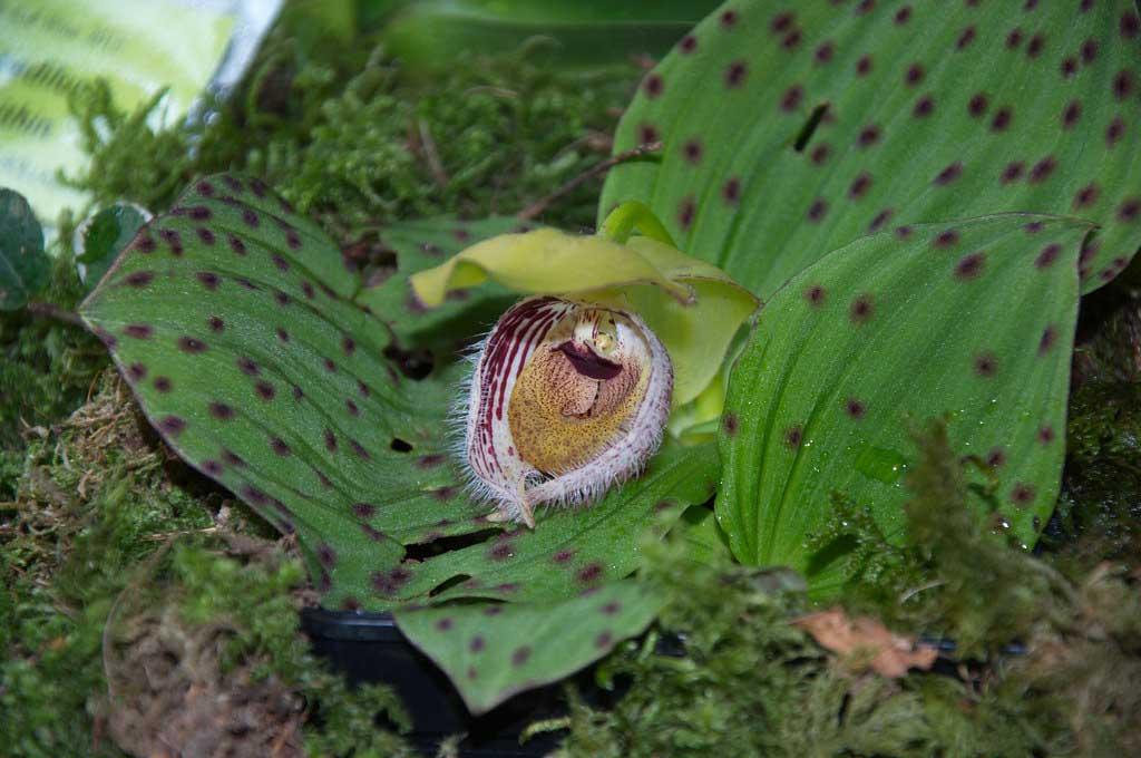 毛瓣杓兰Cypripedium fargesii Franch.