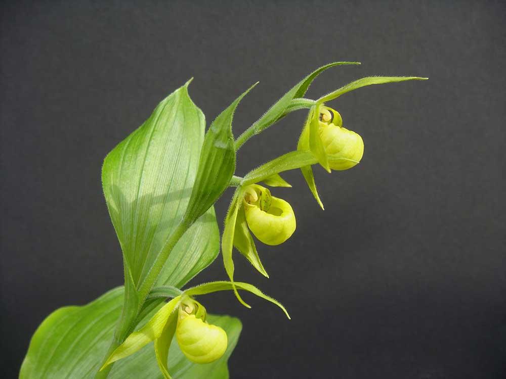 绿花杓兰Cypripedium henryi Rolfe