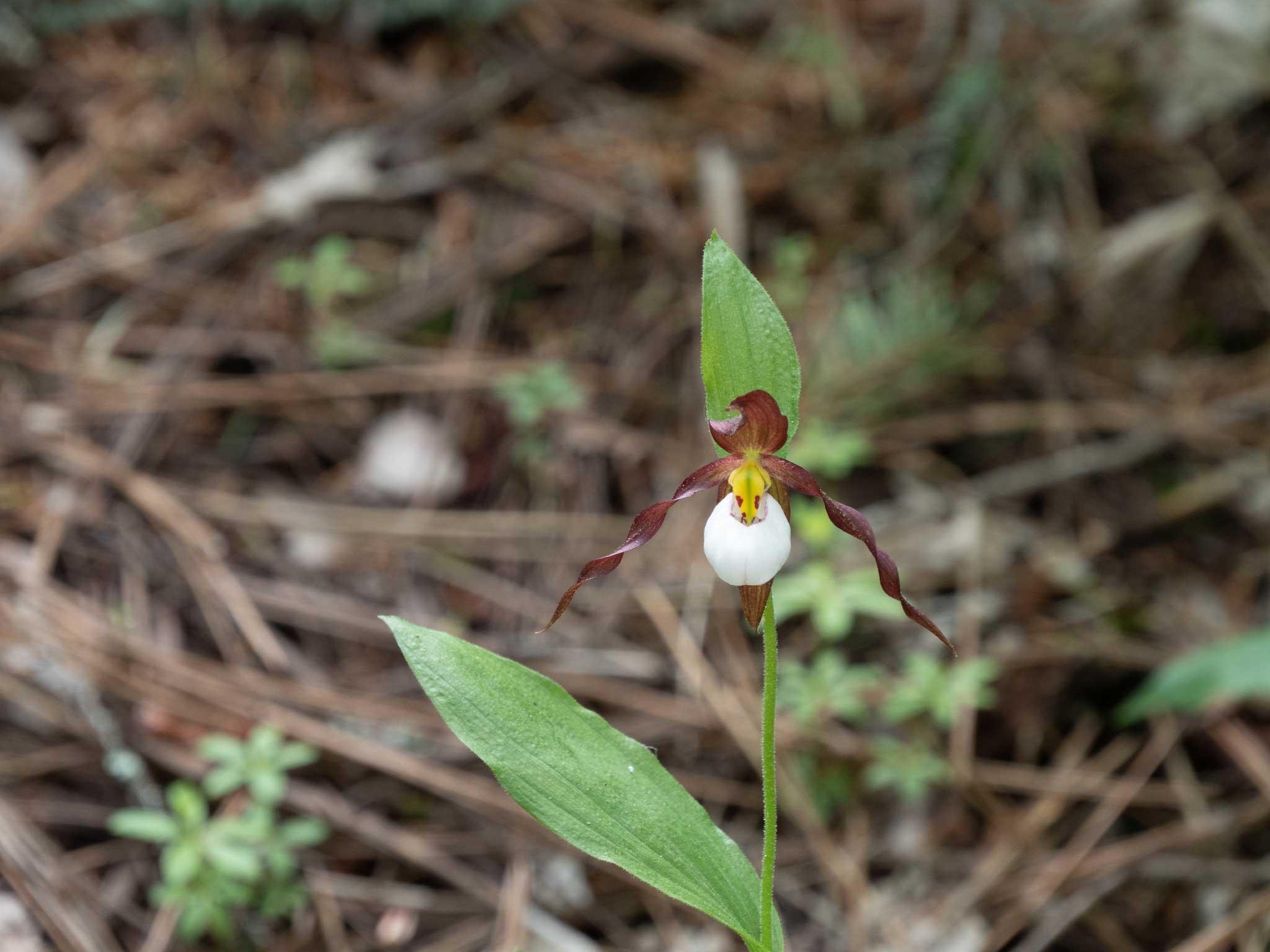 山地杓兰Cypripedium montanum Douglas ex Lindl