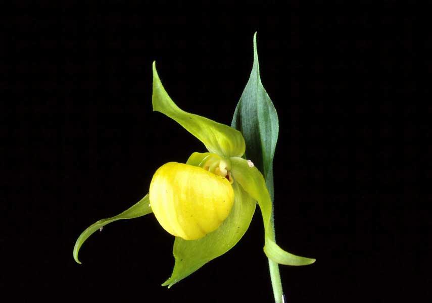 宝岛杓兰Cypripedium segawae Masam.