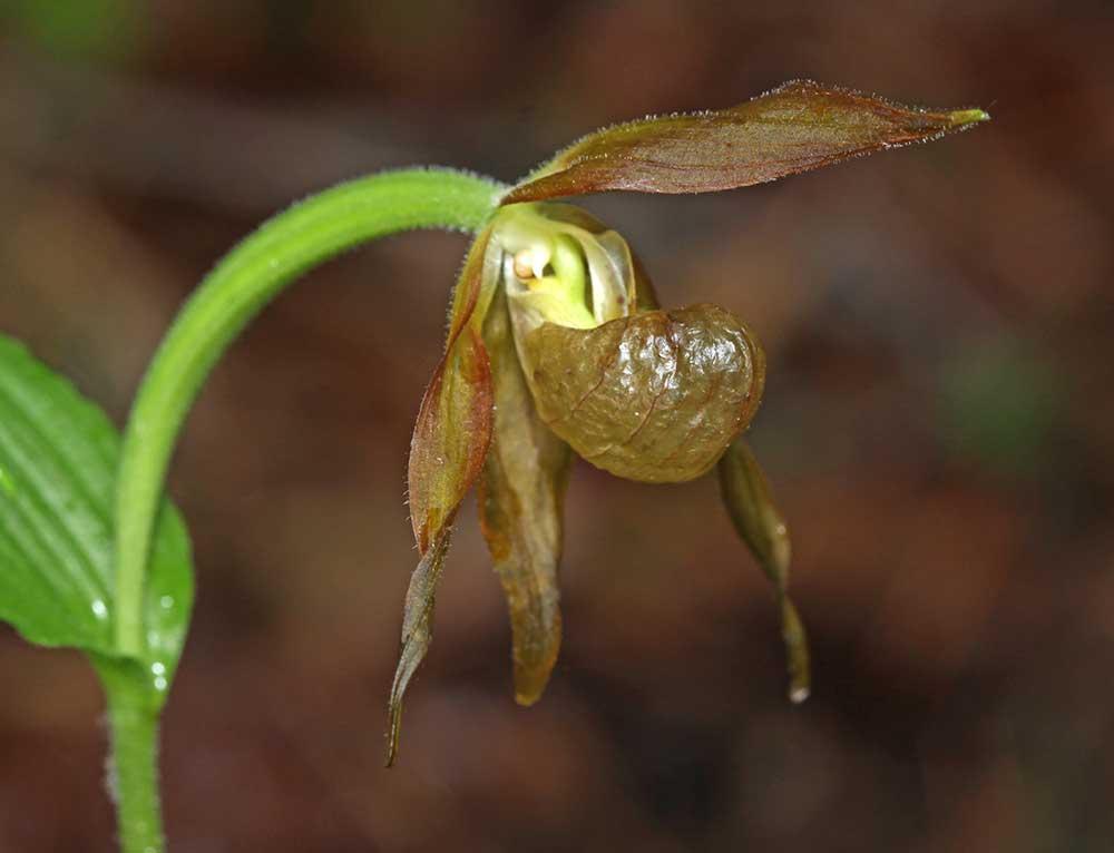 山西杓兰Cypripedium shanxiense S.C.Chen