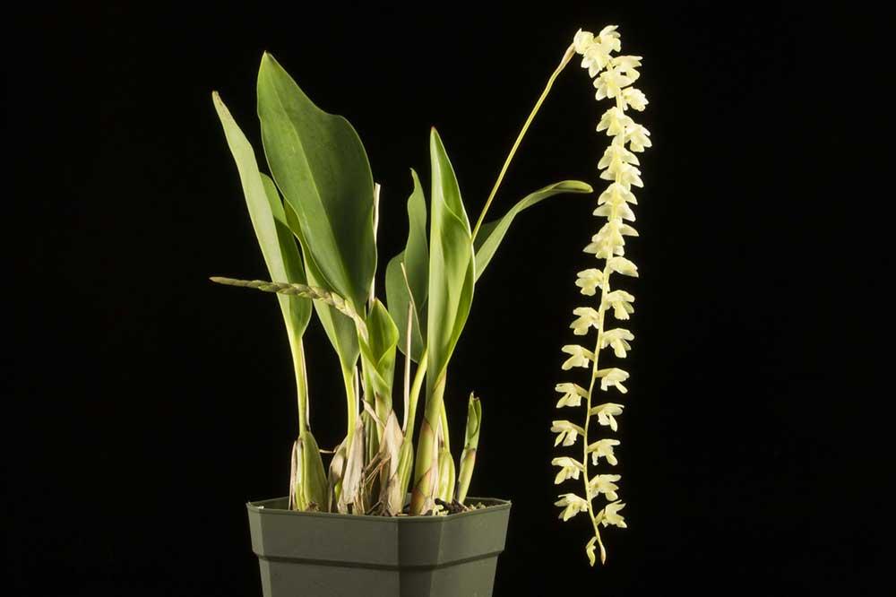 足柱兰属Dendrochilum Blume