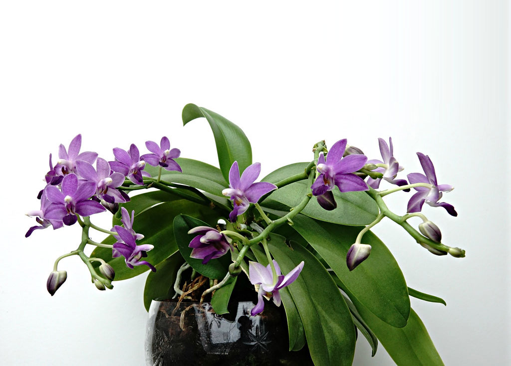 五脣蝶兰属Doritaenopsis