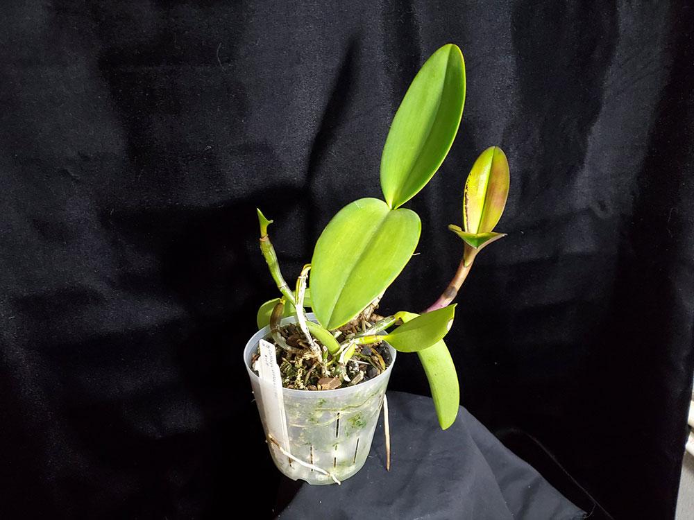 盆栽卡特兰用什么植料