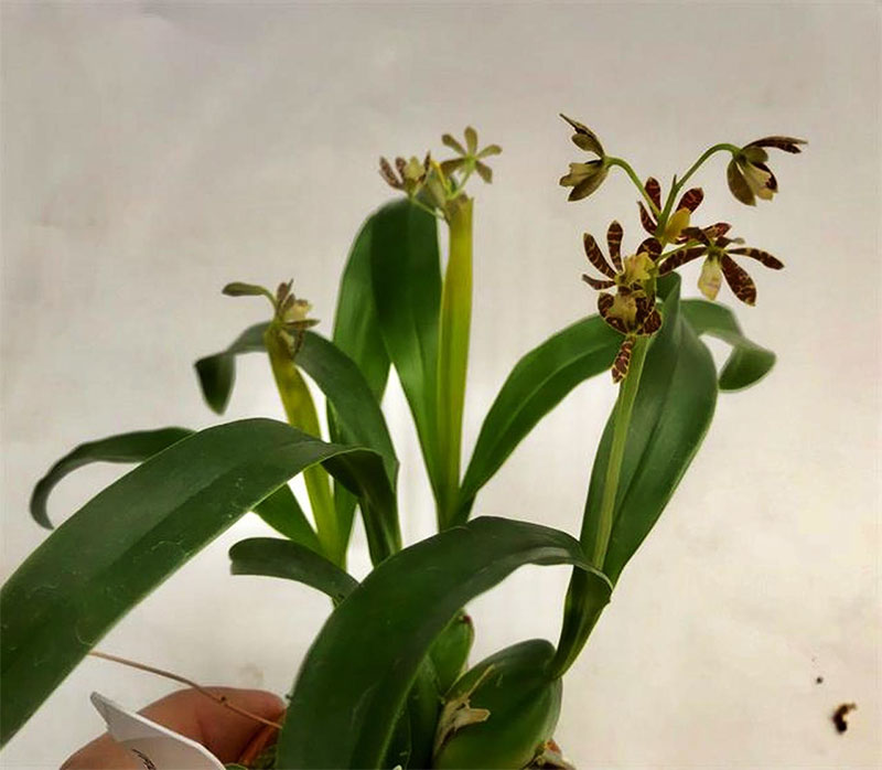 Encyclia boothiana (Lindl.) Dressler