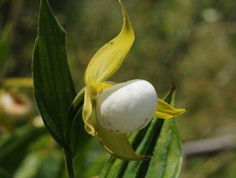 白唇杓兰Cypripedium cordigerum D.Don