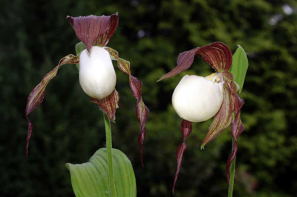 肯塔基州杓兰Cypripedium kentuckiense C.F.Reed