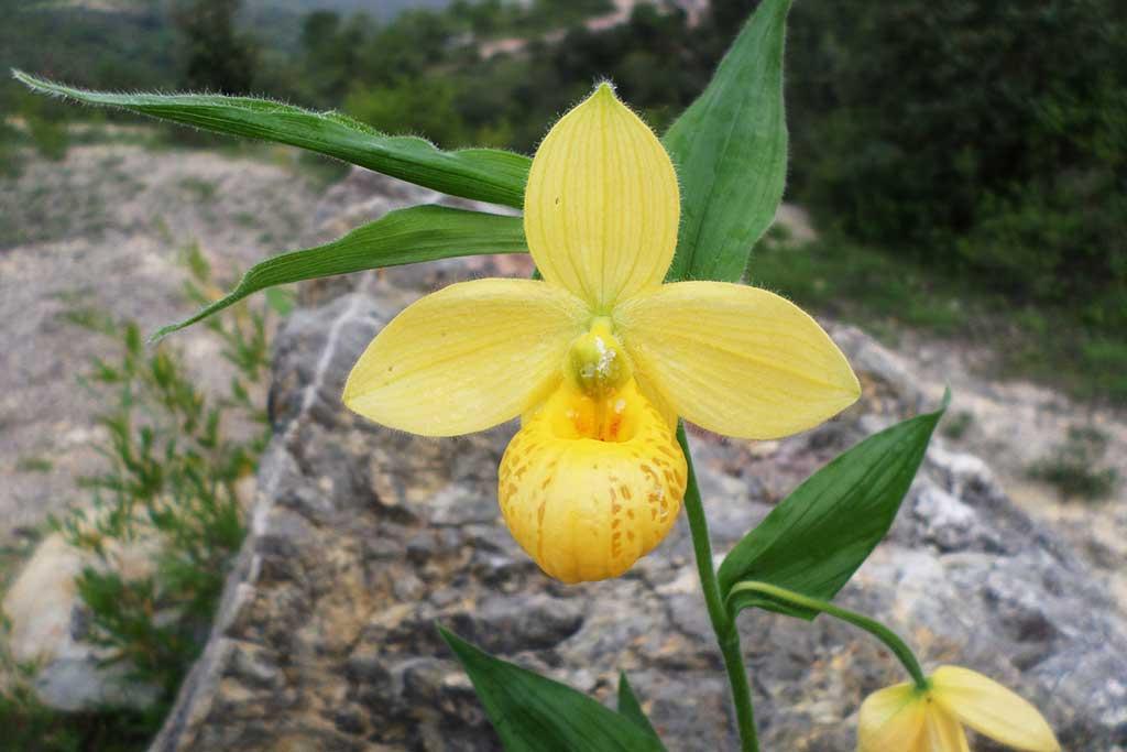 墨西哥杓兰Cypripedium molle Lindl.