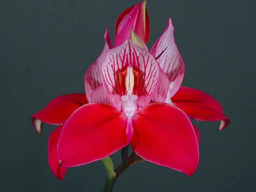 单花迪萨兰Disa uniflora P.J.Bergius